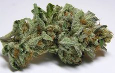 chronic bud